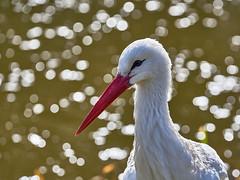 Adebar (W_von_S) Tags: adebar stork storch weisstörche whitestorks light licht bokeh tier animal vogel bird natur nature wvons werner sony sonyilce7rm2 outdoor poing ebersberg wasser water reflections reflexionen