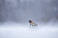 Golden Eagle (Daniel Trim) Tags: aquila chrysaetos golden eagle raptor bird birds birding nature animals sweden scandinavia european photo conny lundstrom lundström kalvträsk skellefteå skellftea winter snow snowy snowing tree