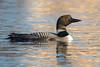 IntoTheSun (jmishefske) Tags: 2018 d850 common nikon fowlerlake oconomowoc bird wisconsin loon spring migration waukesha waterfowl april