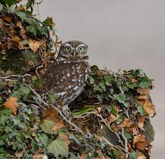 Lt Owl (Steve Ball Photography) Tags: little owl owls birdofprey littleowl wildlife bird