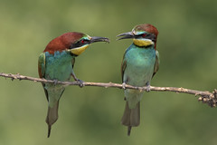 The gift 2 (Ricky_71) Tags: european beeeater merops apiaster spring couple wild nikon