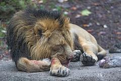 Sleeping after the meal (Tambako the Jaguar) Tags: lion big wild cat male asian asiatic indian lying resting sleeping blood meat food rock stone portrait basel zoo switzlerland nikon d5