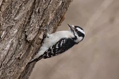 4703 (Eric Wengert Photography) Tags: downywoodpecker picoides picoidespubescens bird woodpecker