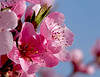 Peach Blossom (lady_sunshine_photos) Tags: alcatel at austria österreich europa europe farbwolke flickrexploreme frühling ladysunshine ladysunshinephotos natur nature outdoor platz space spring sonyalphanex7 stimmung mood sundaylights supershot theworldisbeautiful travel reisen wonderfulworld 2018 wachau peachblossom pfirsichblüte blüte himmel baum sky tree makro macro loweraustria niederösterreich
