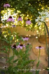 Coneflowers (Anna Calvert Photography) Tags: floral flowers garden macro macrophotography mygarden nature naturephotography petals plants coneflowers