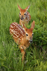 Whitetail Fawns – Cutest Animals on the Face of This Planet? (Bryan Carnathan) Tags: fawns fawn whitetail whitetailed deer outdoor photography photographer nature wildlife baby animal babies shenandoah nationalpark snp bigmeadows virginia va spring ngc