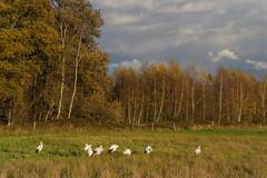 Rieselfelder - 20161118 - 216 (Uwe`s Fotos) Tags: bäume natur ortestädteplätze rieselfelder storch störche tiere vögel wiese flickrexport