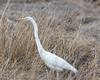 Great Egret (J.B. Churchill) Tags: birds greg garrett greategret heronsegrets maryland mosserroadmarsh places taxonomy accident unitedstates us