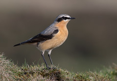 Northern 'Greenland' Wheatear ♂ (Oenanthe leucorhoa) (Rosehip Mike) Tags: northern wheatear oenanthe common wildlife photography england europe european english euro eurasian eater insect insects birds nature uk united kingdom outdoor on ground posing pose perched adult animal animals summer song detail habitat colourful colour vister britain british bokeh bird natural nothern migration migrating male greenland leucorhoa