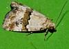 Nob nose Moth Maliattha sp aff amorpha Acontiinae Noctuoidea Airlie Beach rainforest P1230454 (Steve & Alison1) Tags: nob nose moth sp aff airlie beach rainforest maliattha amorpha acontiinae noctuoidea