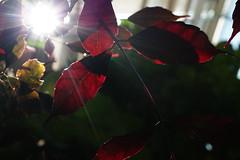 with shivering hearts we wait (emocjonalna) Tags: nature macro natura flora plants botanics garden botanical green backlight