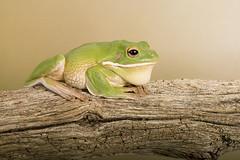 White Lipped Tree Frog (Litoria infrafrenata) (Dave Hunt Photography) Tags: litoriainfrafrenata whitelippedtreefrog