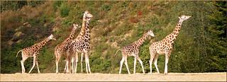 Giraffes on the way