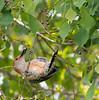 Hanging on (ALF Papa (Mark)) Tags: feeding spring redbelliedwoodpecker hanging seeds tallow bird