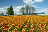Tulips and oaks (briangeerlings) Tags: woodenshoetulipfestival tulip oregon nature flower color sigma field yellow red blue sky cloud tree oak pine people festival sigmadp2merrill merrill foveon dp2m