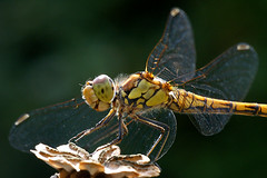 Sympetrum striolatum (♀) (imanh) Tags: dragonfly macro libelle wildlife nature imanh iman heijboer sympetrum striolatum common darter macrolife libel bruinrode heidelibel