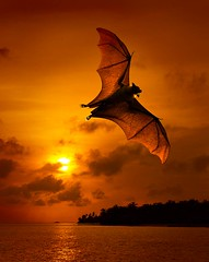 FB #2 (Jon Read) Tags: sunset orange deleteme9 nature photoshop savedbythedeletemegroup wildlife bat kitsch 2006 11 saveme10 maldives topf100 flyingfox cheesy topf250 fruitbat madphotoshopskills sunisland abigfave yesimafraiditis bloggedbyabigfave safedomino