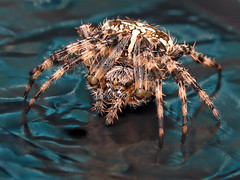 Dressed for a night out (lev) Tags: hairy macro glass spider crystal supermacro eightlegs pro1 araneusdiadematus gardenspider crossspider boristhespider crossback specnature ccrrfd
