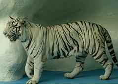 White Tiger (vicki 99) Tags: lasvegas whitetiger