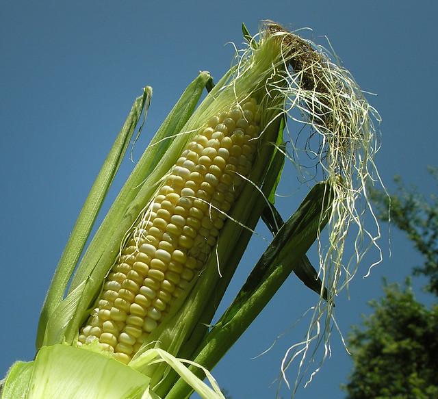 Celebrate corn