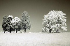 tree tribes (zachstern) Tags: trees wallpaper tree landscape ir arbol tr boom rbol infrared   albero tre puu arbre rvore strom baum trd  f717 infravermelho    copac infrarot   manassasva drzewo   stablo infrarrojos   infrapuna infrarood infrarouge  infrarossi    inframerah      infravrs  infraerven