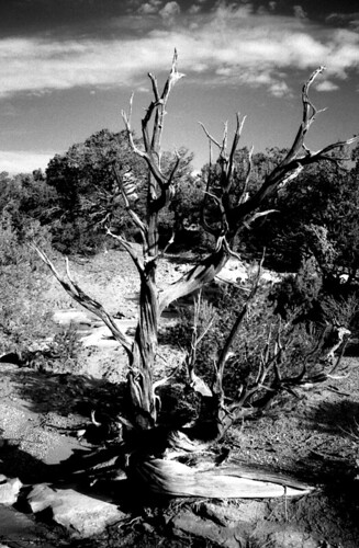 Natural Bridges Twisted Tree