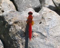 Scarlet darter (Crocothemis erythraea) male