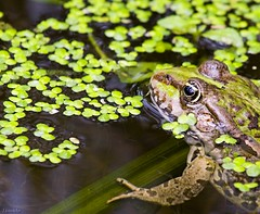 Crazy frog's come back (Lionoche) Tags: pond wildlife frog frosch grenouille tang payerne ranaesculenta top20frogs batracien i500 interestingness352 tangdepayerne