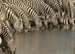 Stripe convention (..jmd..) Tags: africa travel wild white black color reflection water lines animal mouth outside yahoo eyes bravo savedbythedeletemegroup drink african stripes wildlife stripe drinking safari convention zebra wilderness namibia thirsty specanimal animalkingdomelite colorphotoaward