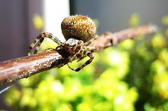 Stjarna skagafjarar (davidorri) Tags: spiderman sumar hr pallur sumar2006 kngul