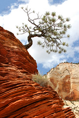 Zion Leaning Tree (Rob Kroenert) Tags: park red usa tree nature landscape utah scenery rocks national bryce zion zionnationalpark leaning