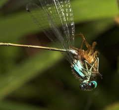"""Spiders 1  Damselfly 0(1) • <a style=""""font-size:0.8em;"""" href=""""http://www.flickr.com/photos/57024565@N00/229977663/"""" target=""""_blank"""">View on Flickr</a>"""
