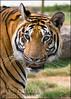 Sumatran_DSC1127 (Lee Diggle) Tags: animals wildlife sumatrantiger