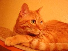 Misha (The Kruger) Tags: orange pet cats pets cat ginger orangecat tabby kitty misha kitties gingercat tabbycat