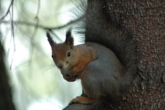 Squirrel (pieterhuijgen) Tags: animals closeup helsinki squirrel