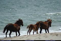 Wild Horses of Virginia