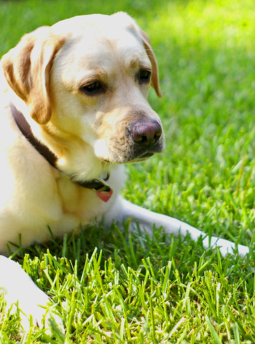 yellow labrador retriever - roxie