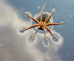 Water Spider (Raft Spider) by thomsonalasdair