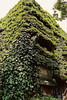aoyama4 (gracias!) Tags: green film japan architecture tokyo pentax ivy aoyama omotesando mz5 表参道 dojunkaiapartment 同潤会青山アパート