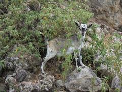 Cabri (Jean-Sébastien Roy) Tags: travel young goat caribbean saintes guadeloupe antilles caraibes terredehaut
