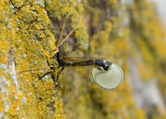 Rhysse noirâtre / Ichneumon wasp / Megarhyssa atrata