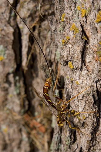 Rhysse cannelle / Ichneumon wasp / Megarhyssa macrurus