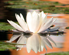 Diadme (Gerard Hermand) Tags: white reflection water canon pond eau mare dof lily s2is blanc nenuphar rflexion 0609103292 formatpaysage gerardhermand