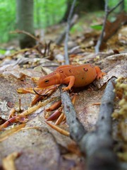 Red eft (Salamanderdance) Tags: animal planet newt redeft salamandridae notopthalmusviridescens notopthalmus