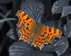 """Comma Butterfly (Polygonia c-album)(9) • <a style=""""font-size:0.8em;"""" href=""""http://www.flickr.com/photos/57024565@N00/241492824/"""" target=""""_blank"""">View on Flickr</a>"""