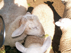 yum (Jonathan Riverwalker) Tags: work sheep farm relaxing petting ahhh hownice digy iwantsheep eatingcarrottopofffriendsback