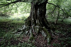 Great Tree- Beech- Brightling East Sussex (ART NAHPRO) Tags: tree forest sussex beech sturdy weald msh0308 msh030818