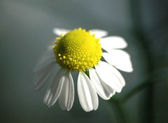 camomile (michenv) Tags: white flower macro yellow japan garden ilovenature petals interestingness nikon d70 nikond70 bokeh michelle explore  exploreinterestingness saitama   camomile  niiza interestingness291 i500 over400views michenv  explore13sept06 over20faves michenvexplore over30faves over70comments