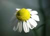 camomile (michenv) Tags: white flower macro yellow japan garden ilovenature petals interestingness nikon d70 nikond70 bokeh michelle explore 日本 exploreinterestingness saitama 花 埼玉 camomile カモミール niiza interestingness291 i500 over400views michenv 新座 explore13sept06 over20faves michenvexplore over30faves over70comments