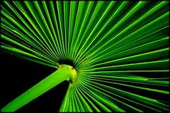 Palm Fan (Christine Lebrasseur) Tags: black france flower macro green art hoja leave nature canon garden geometry palm topf125 palma jardn onblack diagonals naturesfinest diagonales geometra interestingness125 3wayicon cambolesbains arnaga allrightsreservedchristinelebrasseur winnerbc